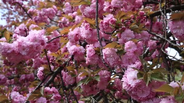 růžový sakura pozadí