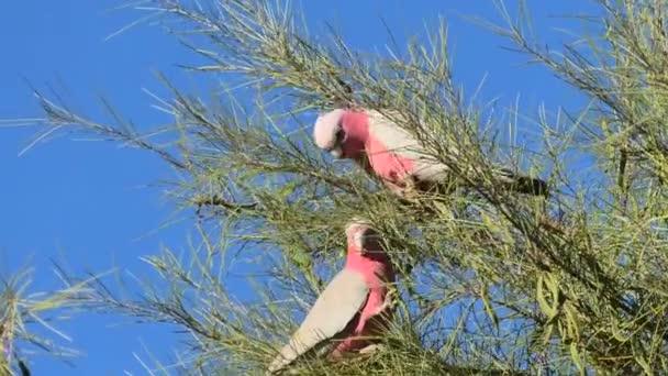 Australská princezna papoušci