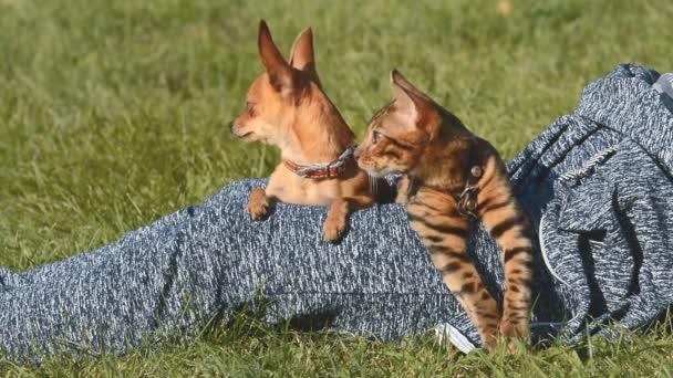 Macska és a kutya. Toy Terrier mini és a bengáli macska.