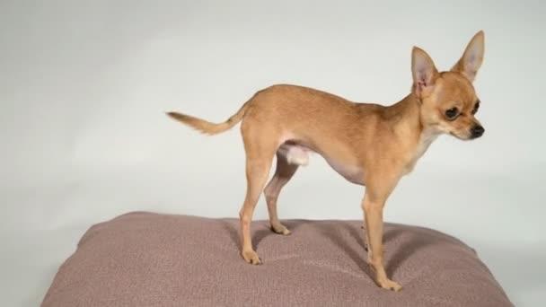 Dog toy terrier egy párna, egy fehér háttér.