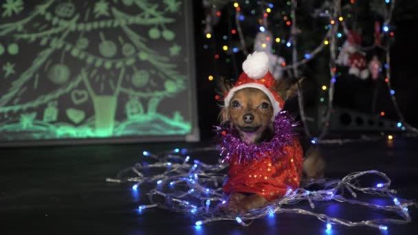 Toy teriér je žlutý pes, nový rok.