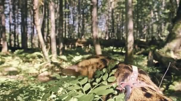 Egy macska egy Városligetben. Bengáli vadmacska séta az erdőben gallér. Ázsiai dzsungel macska vagy Mocsári vagy nád. Házias leopárd macska.