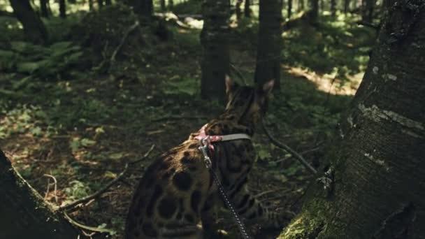 Jedna kočka v městském parku. Bengálský divoké kočky chodí po lese v límci. Asijská kočka nebo bažina nebo Reeda. Kočka domestikovaná.