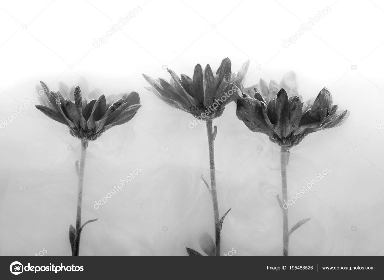 L Eau Fond Noir Blanc Aster Chrysanthemes A L Interieur Sous