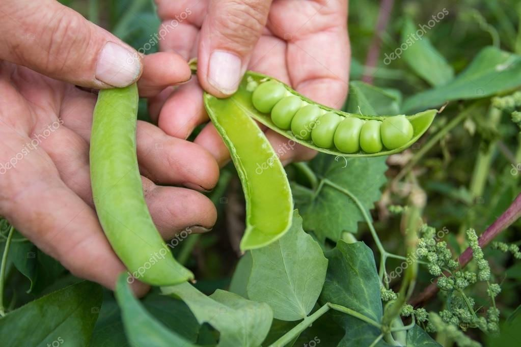 Peas crop. The woman collects peas. Very sweet and large peas. Gifts of summer