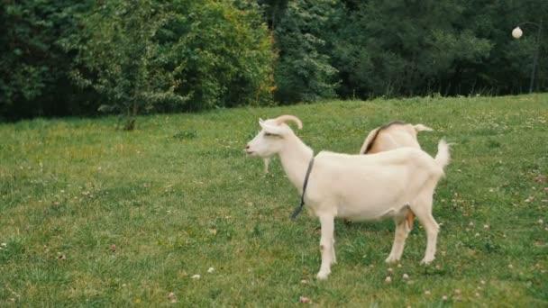 Bílý domácí kozy, stojící na farmě a jíst