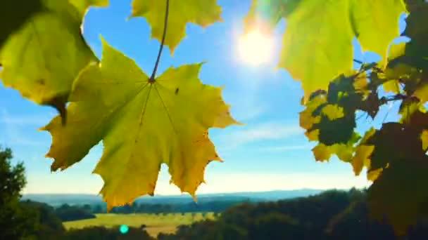 Sonne scheint durch herbstliche bunte Ahornblätter im Wind