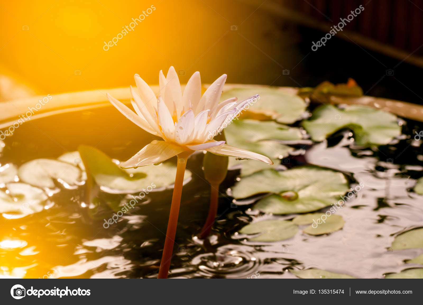 The Lotus Flower In Pool Among Sunshine In The Morning Stock Photo