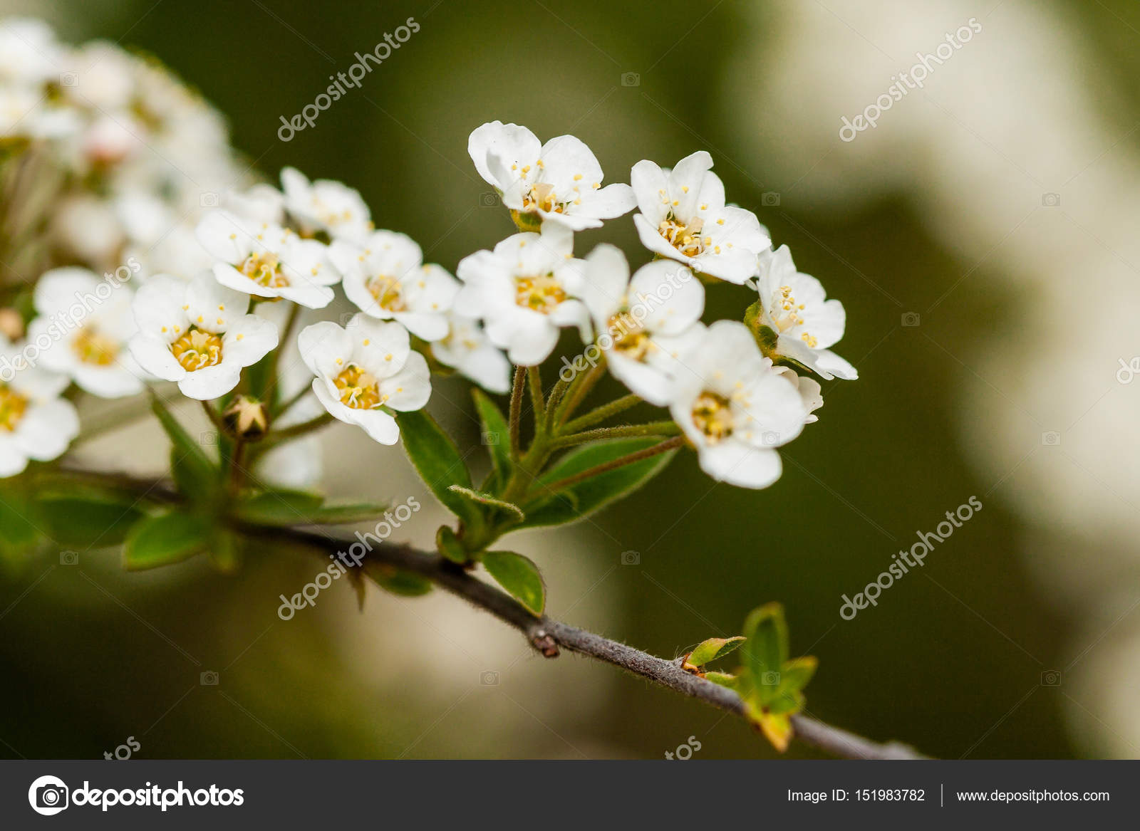 Macro Bush Of Small White Flowers On A Branch Stock Photo