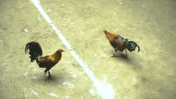 Cock fighting in the Philippines