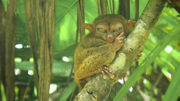 Vtipný filipínský tarsier Tarsius syrichta. Bohol Filipíny