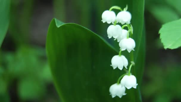 White lily of the valley.