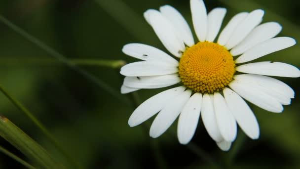 Daisy in the garden on a summer day.