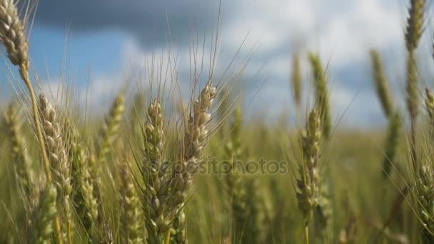 pšeničné pole v přírodě.
