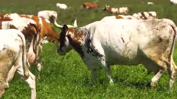Krávy pasoucí se na pastvinách