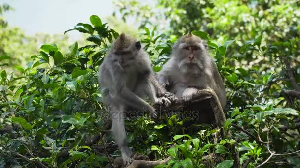 Affen im Wald auf Bali.