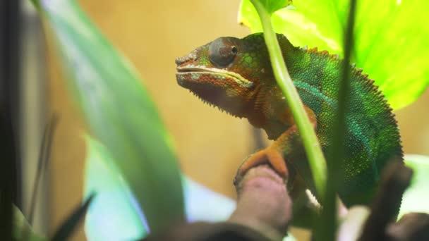 Chameleon Furcifer pardalis Ambolobe