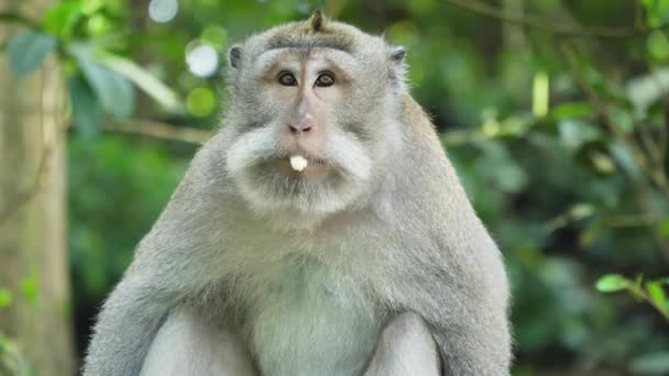 Majmok az erdőben Balin..
