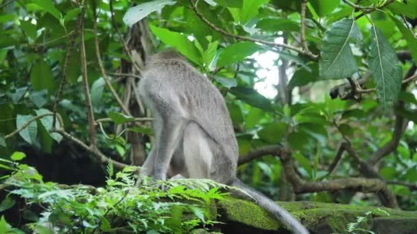 Az erdő Bali majmok.