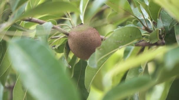 Kiwi ovoce na stromě