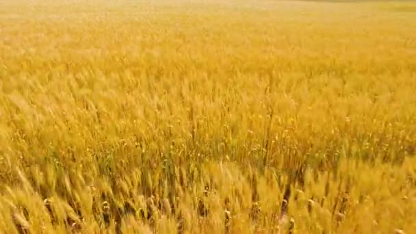 Aerial view of golden wheat field.Aerial video.