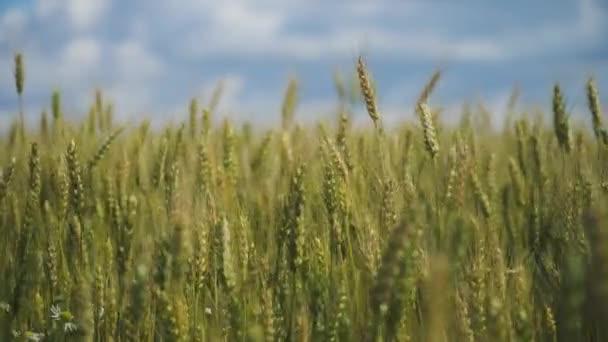 pšeničné pole v přírodě