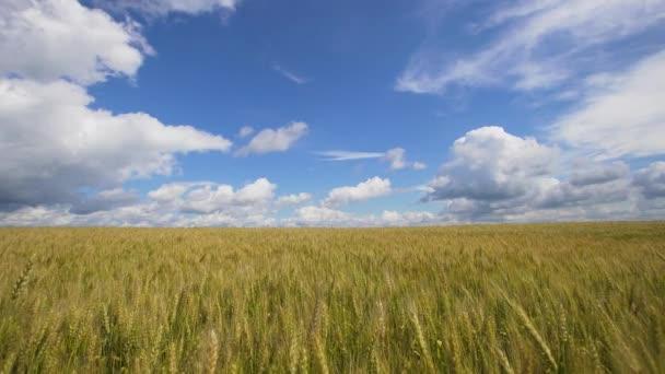 Búzamező vidéken.