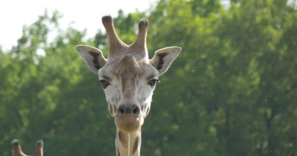 Facce Saliva Giraffe da uno bocca animale da masticare nellosservazione di Zoo degli animali erbivori attività allaperto a fauna paesaggio assolato giorno ventoso