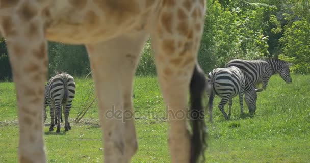 Zebras Grazing on Meadow Giraffe's Legs Sunny Spring or Summer Day in Zoo Animals at Landscape Fresh Green Grass Environmental Nature Wildlife Tourism