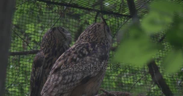 Sovy kalouse v Voliéra v Zoo mezi Forest v zajetí ptáci dravci venku pozorování zvířat chování čistých je na pozadí ornitologie studium