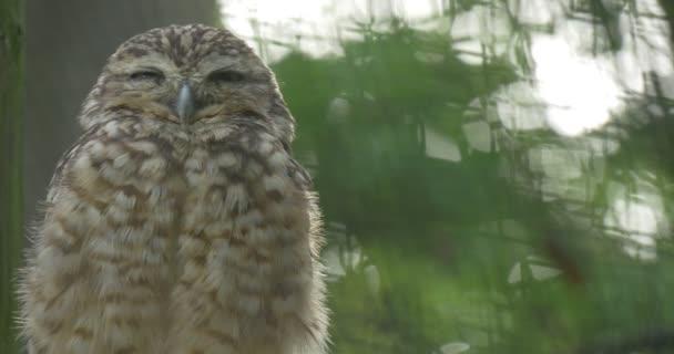 Fodros barna bagoly tűnik dühös ül egy ág a fa fogságban tartott madár a madárház kalitka állatkert szabadban madár látszó valahol tollászkodás a tollak