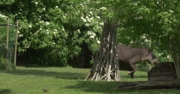 Tapír, šel za keře dřevěný zelený trávník zachování ohrožených ohrožených zvířat exkurze Zoo krajina charakter parku ve slunečný den