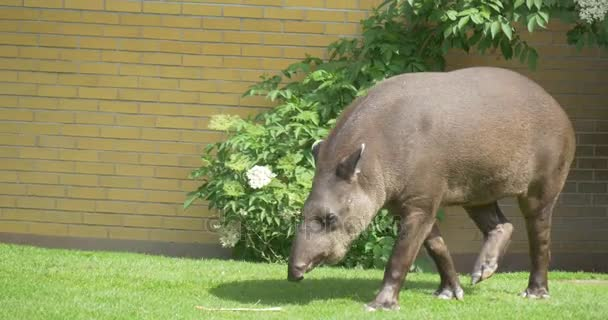 Camera Follows Tapir Animal is Feeding in Zoo Walking by Green Lawn and Stops Landscape Nature of the Park in Sunny Day Conservation of Endangered Animal