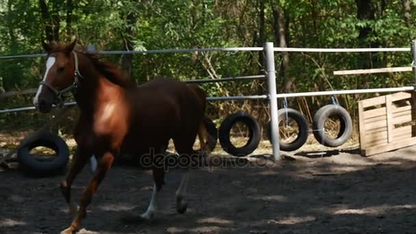 a Young Brown Horse With White Ergots and Fetlocks Gallops Elegantly in a Wooden Fence Horse Ground, Being Shot in Slo-Mo