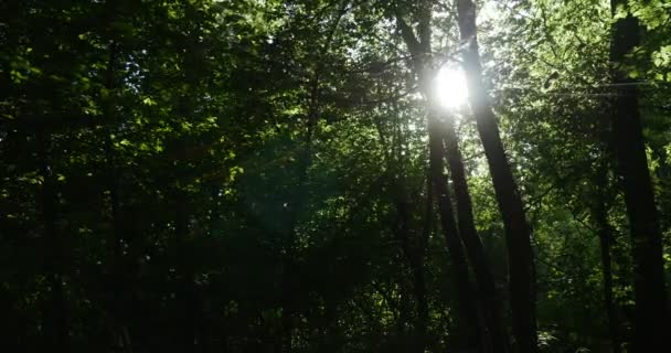 Záhadné divoké zelené Forest s topoly, duby, lipami a další stromy, které svítí s vzácné sluneční paprsky šumivé od času na čas v létě