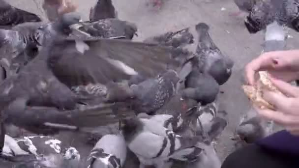 Woman feeds many pigeons