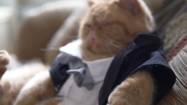 Persian cat in the suit with bow tie and jacket sits on sofa like a persian cat in the suit with bow tie and jacket sits on sofa like a boss ccuart Image collections