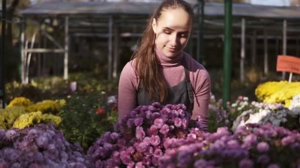 Mladá usmívající se žena květinářství v zástěře, posuzování a zajištění květináče s chryzantéma na polici. Mladá žena ve skleníku s květinami kontroluje hrnec chryzantém