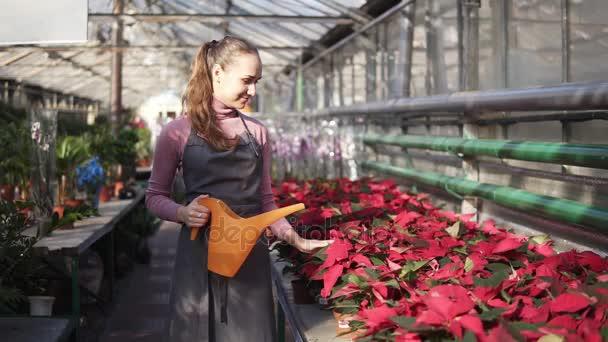 Může žena zahradník v jednotné chůze ve skleníku a zalévání hrnců červená Poinsettie s zalévání zahrady