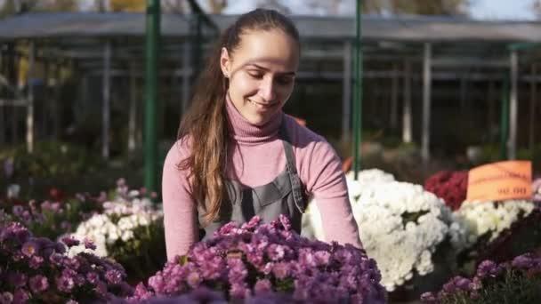 Mladá žena ve skleníku s květinami kontroluje hrnec chryzantém. Atraktivní usměvavá žena květinářství v zástěře, posuzování a zajištění květináče s chryzantéma na polici