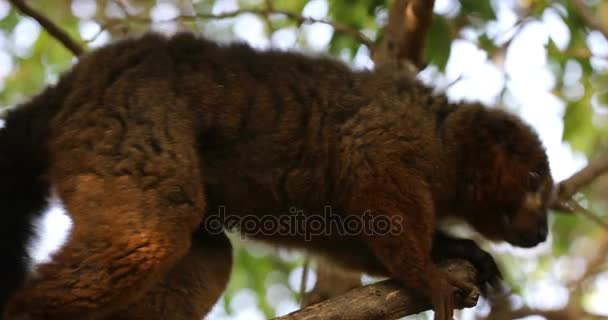 Red-Bellied Lemur on the tree