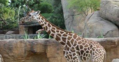 Zsiráfok, a természet járás