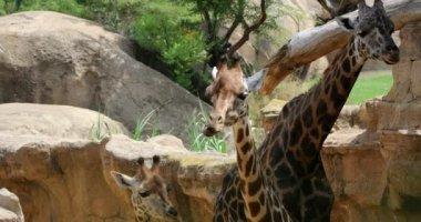 Zsiráfok család töpreng a természet