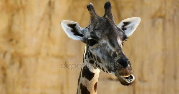 zblízka hlavou žirafa krásný detail