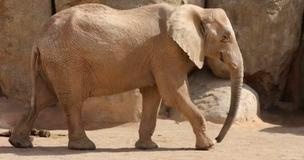 nagy afrikai elefánt család