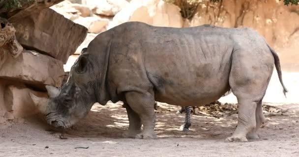 Big white male rhino feeding