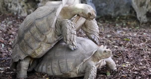 Couple of turtles making love