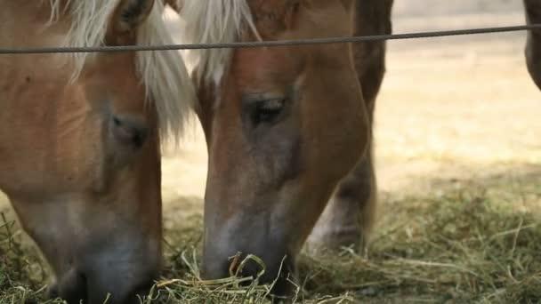 Dva koně jíst seno 2
