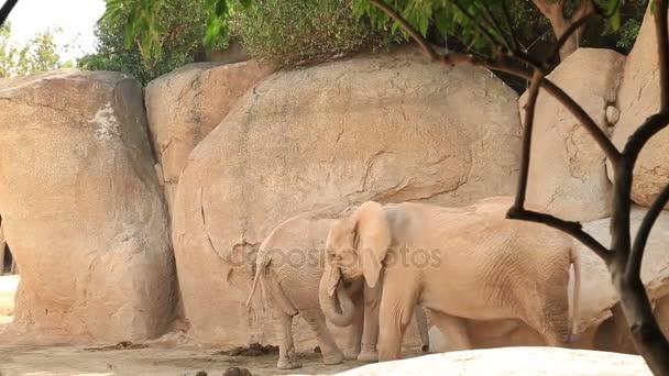 Két nagy afrikai elefánt