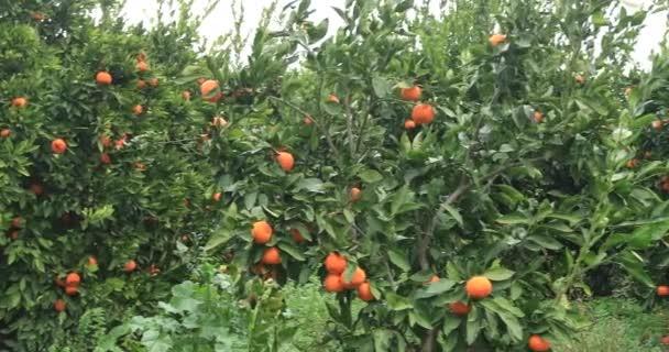 Tangerine garden with lots of tangerine